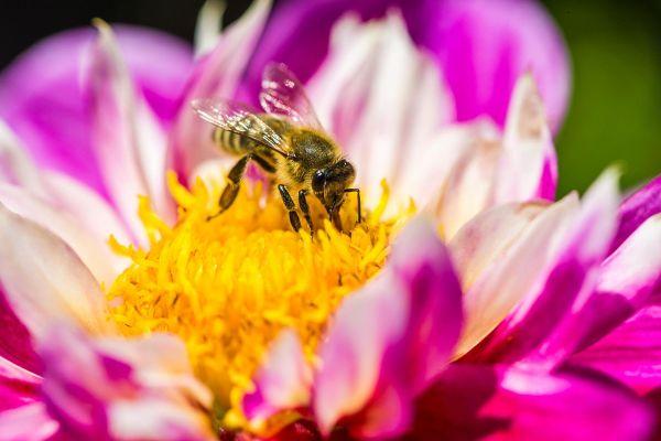 Ste vedeli, da so čebele pravi superheroji živalskega sveta?
